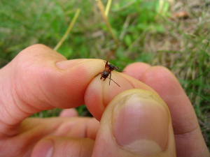 An ant viewed on a person's fingertip.